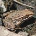Rana Leopardo de Yavapai - Photo (c) Steve Jones, algunos derechos reservados (CC BY-NC)