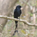 Black Drongo - Photo (c) Subhajit Roy, some rights reserved (CC BY-NC-ND)