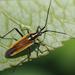 Leptopterna dolabrata - Photo (c) Gordon Johnston, μερικά δικαιώματα διατηρούνται (CC BY-SA)