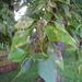 Populus × sibirica - Photo (c) Eduard Garin,  זכויות יוצרים חלקיות (CC BY-NC)