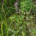 Swertia stenopetala - Photo (c) Сергей Дудов, some rights reserved (CC BY-NC)