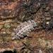 Polyxenus lagurus - Photo (c) Marcello Consolo, alguns direitos reservados (CC BY-NC-SA)