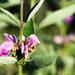 Phlomis herba-venti pungens - Photo (c) Marina Gorbunova, algunos derechos reservados (CC BY-NC)