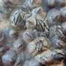 Chthamalus fragilis - Photo (c) Ryan Watson, μερικά δικαιώματα διατηρούνται (CC BY)