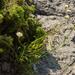 Cephalaria coriacea - Photo (c) Marina Gorbunova, algunos derechos reservados (CC BY-NC)