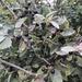 Rhamnus humboldtiana - Photo (c) camarofan, osa oikeuksista pidätetään (CC BY-NC)