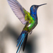 Swallow-tailed Hummingbird - Photo (c) marcelo_allende, some rights reserved (CC BY-NC)