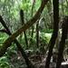 Cyathea capensis - Photo (c) Joey H, alguns direitos reservados (CC BY-NC)