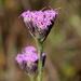 Carphephorus pseudoliatris - Photo (c) Alvin Diamond, μερικά δικαιώματα διατηρούνται (CC BY-NC)