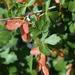 Acer glabrum diffusum - Photo (c) springlake1, algunos derechos reservados (CC BY-NC)