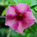 Allamanda - Photo (c) mieked, some rights reserved (CC BY-NC)