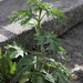 Urtica cannabina - Photo (c) Vadim Prokhorov, some rights reserved (CC BY-NC)