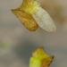 Lentejuelas de Agua - Photo (c) Peggy Romfh, algunos derechos reservados (CC BY-NC)