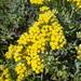 Helichrysum revolutum - Photo (c) jpot123, algunos derechos reservados (CC BY-NC)