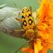 Ochraethes sommeri - Photo (c) Felipe Angel Gonzalez Luna, algunos derechos reservados (CC BY-NC)