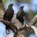 Pinarornis plumosus - Photo (c) Derek Keats,  זכויות יוצרים חלקיות (CC BY)
