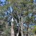 Angophora bakeri - Photo (c) Joel Poyitt, algunos derechos reservados (CC BY-NC)