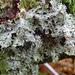 Pseudocyphellaria multifida - Photo Δεν διατηρούνται δικαιώματα