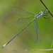 Swamp Spreadwing - Photo (c) Denis Doucet, some rights reserved (CC BY-NC)
