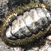 Quitones, Cucarachas de Mar Y Parientes - Photo (c) Stephanie Sicore, algunos derechos reservados (CC BY)