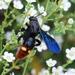 Scolia dubia - Photo (c) David Jeffrey Ringer,  זכויות יוצרים חלקיות (CC BY-NC)