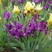 Iris scariosa - Photo (c) ramazan_murtazaliev,  זכויות יוצרים חלקיות (CC BY-NC)