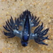 Glaucus bennettae - Photo (c) tangatawhenua, some rights reserved (CC BY-NC)
