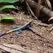 Agama lebretoni - Photo (c) BenJee, algunos derechos reservados (CC BY-NC)