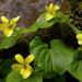 Viola glabella - Photo (c) Peter Stevens, algunos derechos reservados (CC BY)