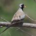 Oena capensis capensis - Photo (c) Felix Riegel, algunos derechos reservados (CC BY-NC)