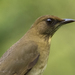 Creamy-bellied Thrush - Photo (c) marcelo_allende, some rights reserved (CC BY-NC)