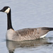 Canada Goose - Photo (c) Thomas J. Bright, some rights reserved (CC BY-NC)