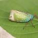 Loxocephala - Photo (c) Les Day, algunos derechos reservados (CC BY-NC)