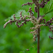 Stinging Nettle - Photo (c) Marina Gorbunova, some rights reserved (CC BY-NC)