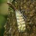 Pyrops oculatus - Photo (c) Les Day, algunos derechos reservados (CC BY-NC)
