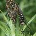 Amphipsalta cingulata - Photo (c) Uwe Schneehagen,  זכויות יוצרים חלקיות (CC BY-SA)