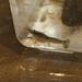 Procambarus ouachitae - Photo (c) Devin Moon, algunos derechos reservados (CC BY-NC)