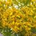 Barkleyanthus salicifolius - Photo (c) promotores_ambientales_puebla, alguns direitos reservados (CC BY-NC)