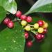 Psychotria asiatica - Photo (c) 羅忠良, μερικά δικαιώματα διατηρούνται (CC BY-NC)
