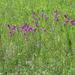 Slender Corn-Flag - Photo (c) Vadim Prokhorov, some rights reserved (CC BY-NC)