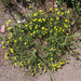 Potentilla collina - Photo (c) Sergey Mayorov, some rights reserved (CC BY-NC)