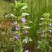 Clinopodium acinos - Photo (c) Sergey Mayorov,  זכויות יוצרים חלקיות (CC BY-NC)