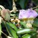 Luehea divaricata - Photo (c) Horacio Sirolli, μερικά δικαιώματα διατηρούνται (CC BY-NC)