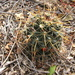 Mammillaria mainiae - Photo (c) barbara_lb, some rights reserved (CC BY-NC)