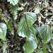 Hymenophyllum cruentum - Photo (c) ludovica_,  זכויות יוצרים חלקיות (CC BY-NC)
