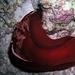 Hexabranchus sanguineus - Photo (c) Carla van Westing, algunos derechos reservados (CC BY-NC)