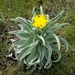 Andryala glandulosa - Photo (c) Paola Ferruzzi, some rights reserved (CC BY-NC)