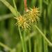 Carex flava - Photo (c) Vadim Prokhorov, algunos derechos reservados (CC BY-NC)