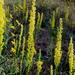 Solidago virgata - Photo (c) Alvin Diamond,  זכויות יוצרים חלקיות (CC BY-NC)