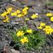 Anthemis marschalliana - Photo (c) ramazan_murtazaliev, some rights reserved (CC BY-NC)